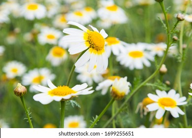 close up of a daisy in a flowering field
