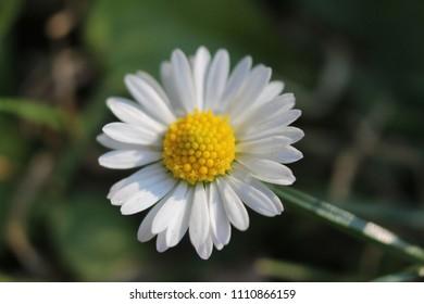 Close Up Of Daisy Stamen - Shutterstock ID 1110866159