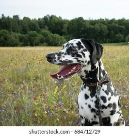 Close up of a Dalmatian in a field