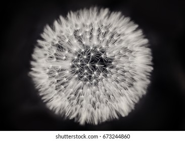 Close up of a dandelion in black and white