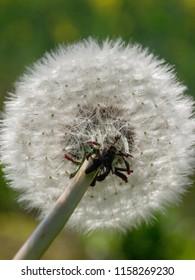 Close up of  dandelion head in spring, uk