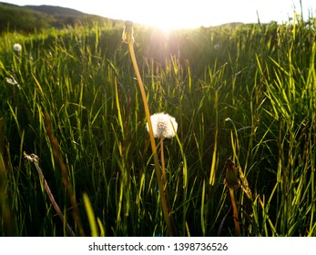 Close up of dandelion in illuminated meadow with shafts of sunlight