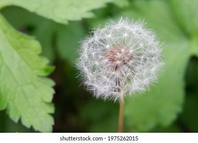 Close Up Dandelion Nature Flower