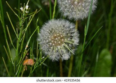 Close up of a dandelion with overgrown green grass in the background