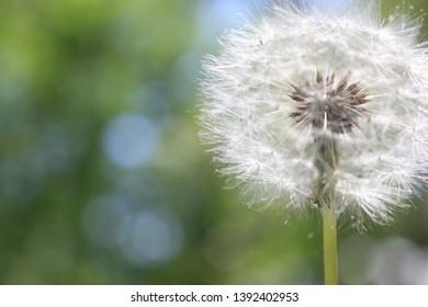 Close up of a dandelion plant