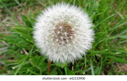 Close Up of a Dandelion Seed Head with Grass Background