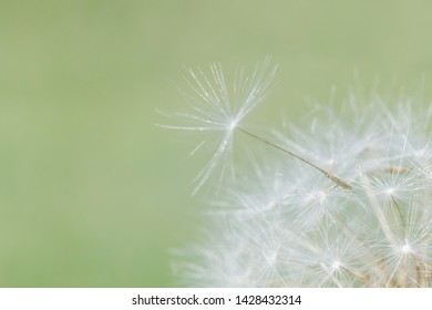 close up of dandelion seed on head of flower