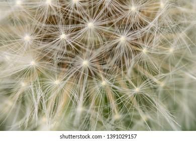Close Up of Dandelion Seeds on Flower Head