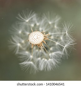 Close Up of Dandelion Seeds on Flower Head