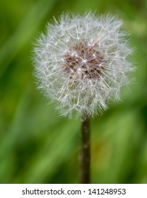 Close up of Dandelion that has Gone to Seed