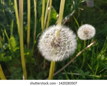 close up of dandelions in a field