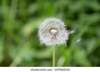 close up dandellion flight seeds