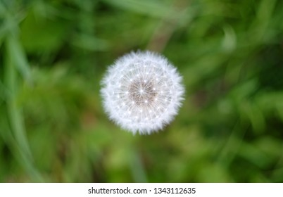 Close up of a dandylion seed head in a field