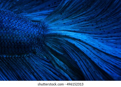 Close up of dark blue metal betta fish, use for background