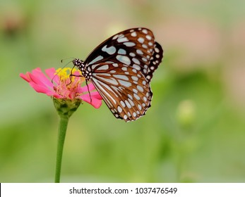 Close up Dark Glassy Tiger Butterfly on the pink flower with blurry nature background