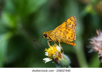 Close up of Dart (Potanthus probably Potanthus nesta) butterfly or skipper on grass flower in nature
