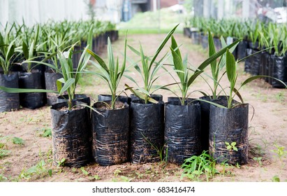 close up date palm in black plastic bag for cultivate race of plant for make good product