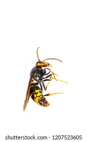 Close up of dead asian hornet wasp insect macro in white background. Poisonous venom animal colony. Concept of danger in nature