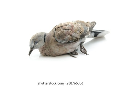 Close up of dead bird on white background isolated