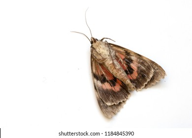 Close Up of a Dead Brown and Red Moth on White Background