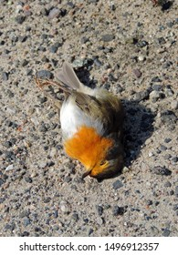 Close up of a dead European robin (Erithacus rubecula), known simply as the robin or robin redbreast lying on the ground. Poland, Europe