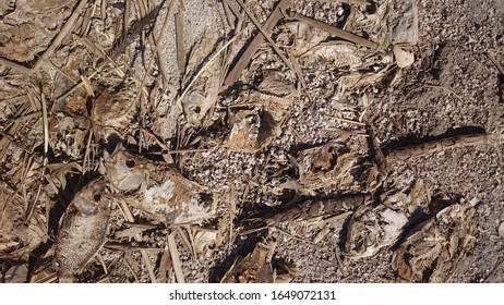 Close up of dead fish in the Salton Sea