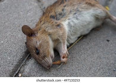 Close up of a dead rat