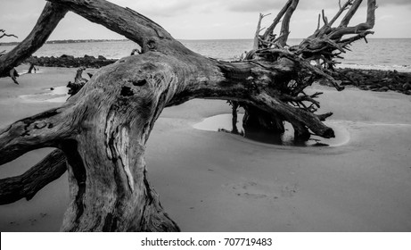 Close up of a dead tree stuck in the sand at Driftwood Beach, Jekyll Island, GA in Black and White/Stuck in the Sand