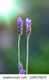 close up deatil of one lavendar bloom at the top of a long stalk