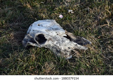 A close up of a decaying herbivore skull found in a field.