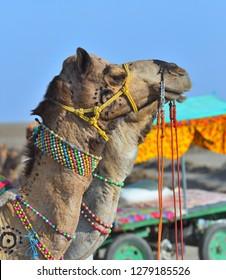 Close up decorated head of Camel at white Rann, Bhuj, Gujarat, India