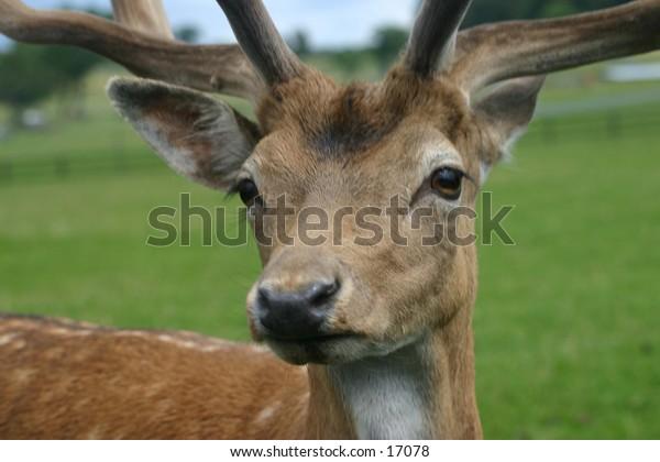 Close up of Deer
