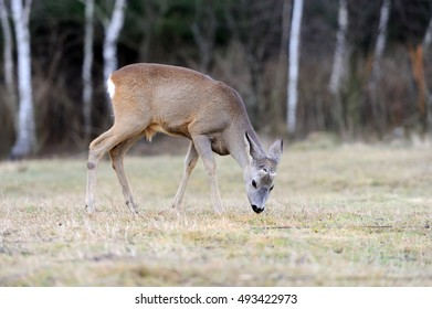 Close Deer in the natural environment in the autumn