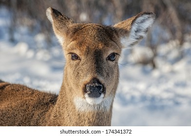 Close up of a deer's face in the snow