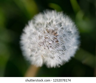 Close up of the delicate seeds of a dandelion in green meadow