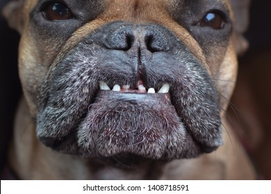 Close up of dental condition with overbite and missing teeth of a flat nosed French Bulldog dog