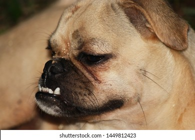 Close up of dental condition with overbite of a pug dog.