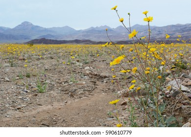 A close up of Desert Gold wildflowers on the right side of the frame with a landscape of more wildflowers to the left and mountains in the background in Death Valley National Park.
