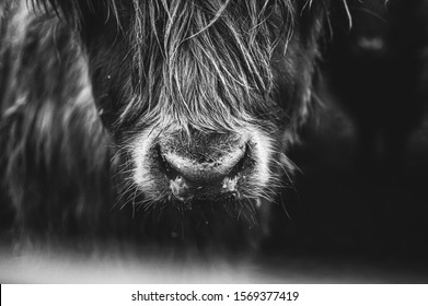 close up detail black and white picture of Scottish Highland Cow in field looking at the camera, Ireland, England, suffolk. Hairy Scottish Yak. Brown hair, blurry background