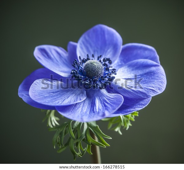Close detail of a blue  Anemone flower isolated against a green background.