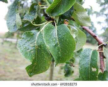 a close detail of a branch with green leaves and drop of water