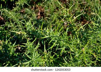 Close up detail of common gorse bush, ulex europaeus, England, UK, Europe