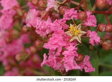 Close detail of crepe myrtle flowers (Lagerstroemia sp.)