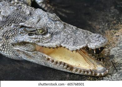 Close up detail of a crocodile head