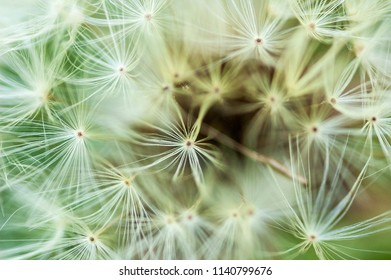 Close up detail of dandelion seed