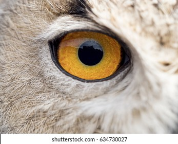 Close up detail of the eye of an owl (Bubo bubo)