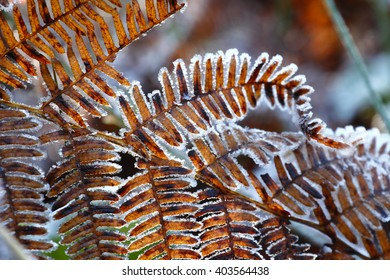 Close up detail of fronds on a Tree Fern(Dicksonia antarctica) covered with snow, lit by the morning sun, local focus