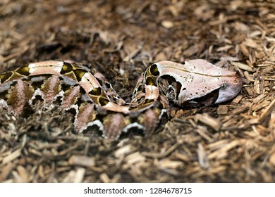 Close up detail of Gaboon Viper(Bitis gabonica), it has the longest fangs and highest venom yield of any snake.