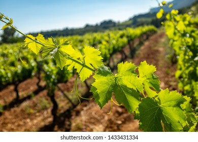 Close up detail of  grapevine leaves with backlight against out of focus vineyard in background.