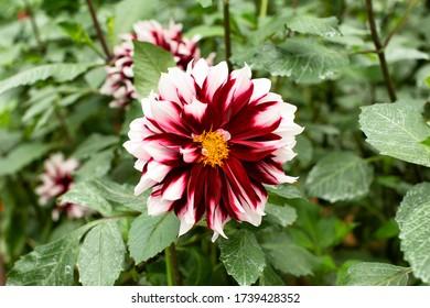Détail rapproché d'une grande fleur de dahlia rouge et blanche